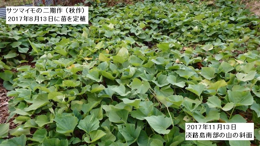 淡路島南部のサツマイモ秋作の畑