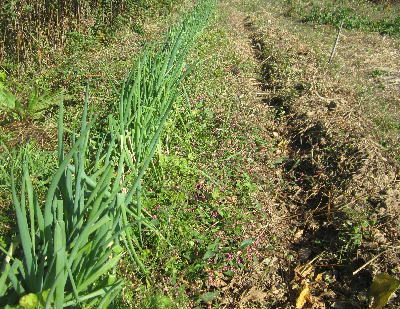 大豆収穫開始17年 (1)