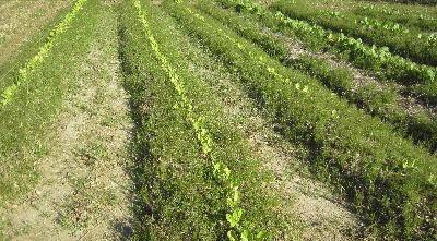 無施肥自然栽培 (1)