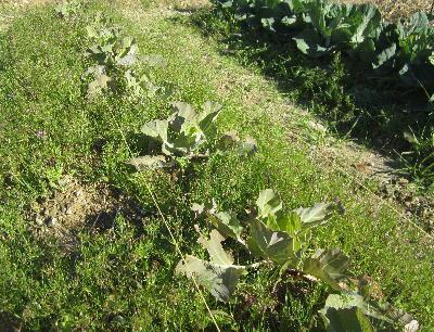 無施肥自然栽培 (2)