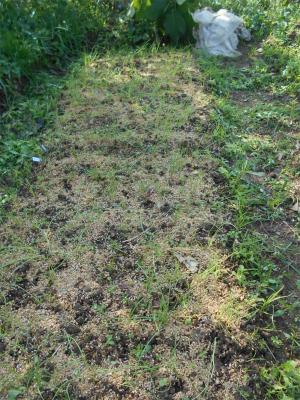 10.8タマネギ苗の草採り