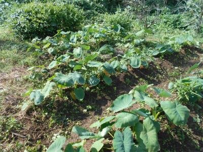10.8里芋の土寄せ前
