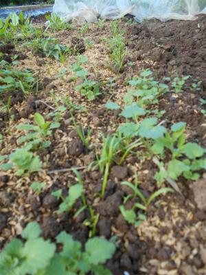 301015ホウレン草の芽出し