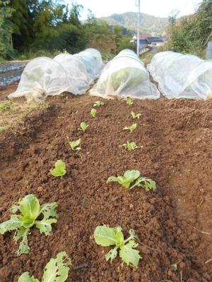 301015白菜の追加植え
