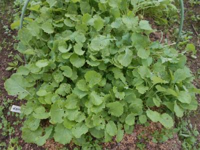 301023のらぼう菜の苗
