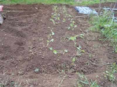 301023のらぼう菜定植