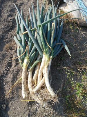 301110根深葱収穫