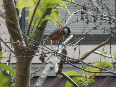 301119庭に来た小鳥