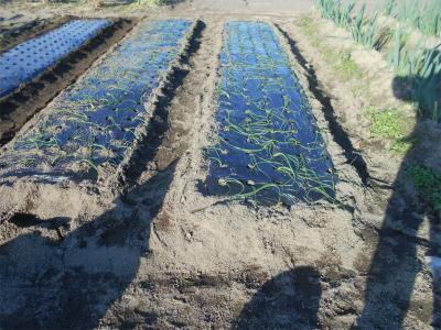 301124安来の畑へ玉ねぎ定植