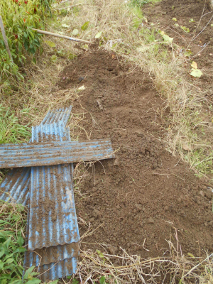 301201山芋掘り1