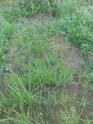 301224まだ植えてない玉ねぎ苗とネギ苗
