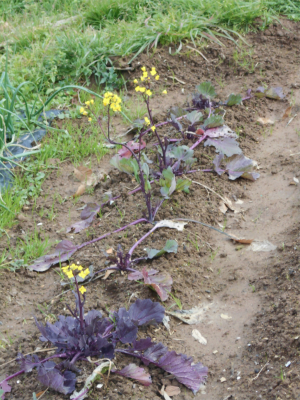 310112紅菜苔
