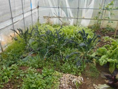 310112ハウスの黒キャベツと壬生菜