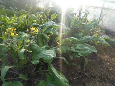 310201ハウスの紅菜苔