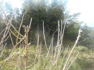310202タラの木