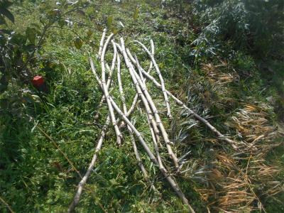 310202タラの木を切った