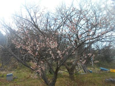 310202梅の花1