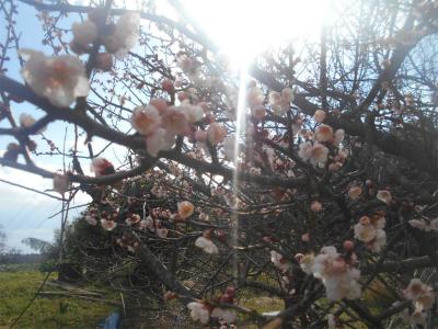 310202梅の花2