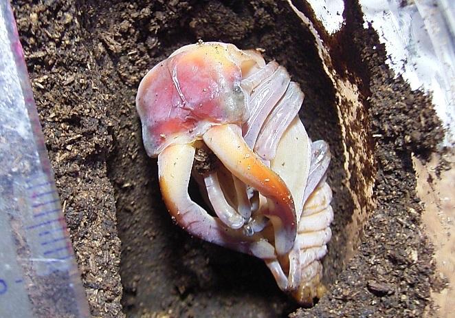 ノコギリクワガタ大きな蛹