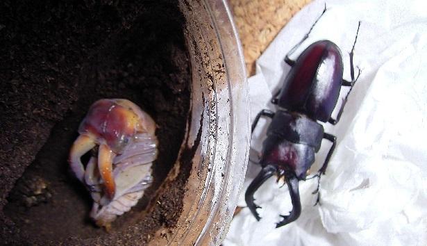 ノコギリクワガタ大きな蛹比較