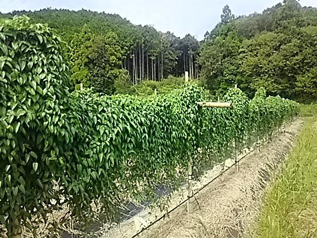 3大月の自然薯