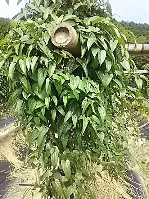 8大月の自然薯