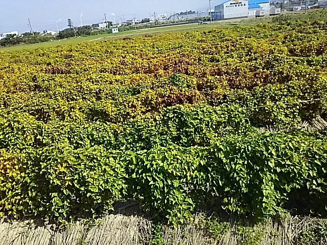 愛媛県四国中央市の自然薯