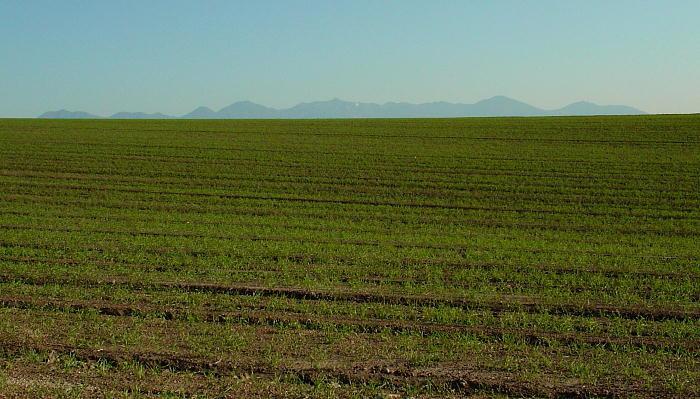 秋蒔き小麦