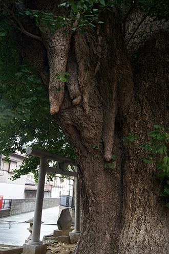 170902船橋道祖神社銀杏⑥