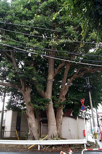 170902船橋道祖神社銀杏⑦
