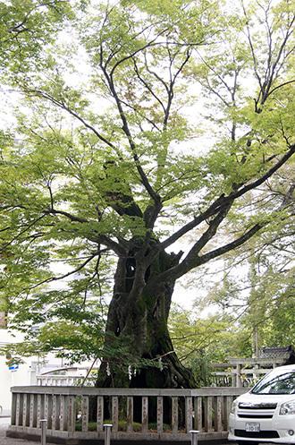 170924高城神社のケヤキ①