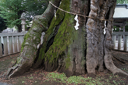 170924高城神社のケヤキ③