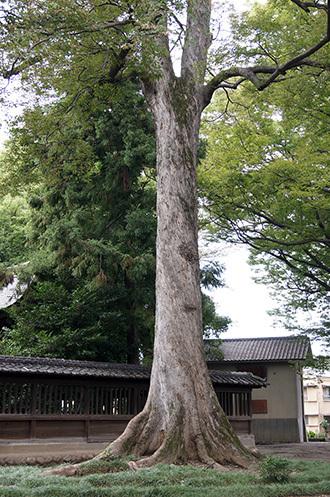 170924高城神社のケヤキ⑫