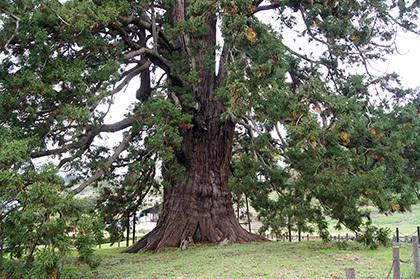 171018杉沢の大杉④