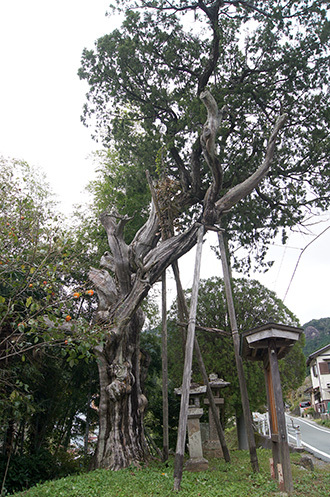 171024鳳来寺ねずの樹②