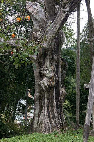 171024鳳来寺ねずの樹③
