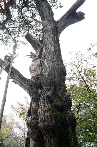 171024鳳来寺ねずの樹⑤
