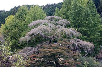 171024鳳来寺ねずの樹⑧