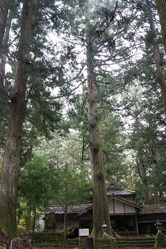 171108相月諏訪神社大杉①