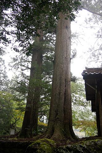 171108相月諏訪神社大杉④