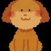 犬、トイプードル