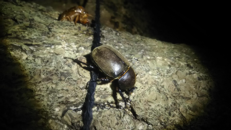 林試の森公園 カブトムシ雌