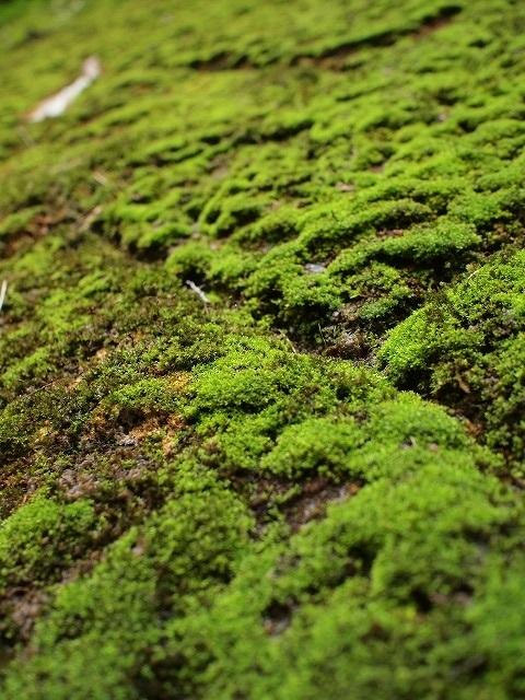 500世界遺産の苔と普通の苔1