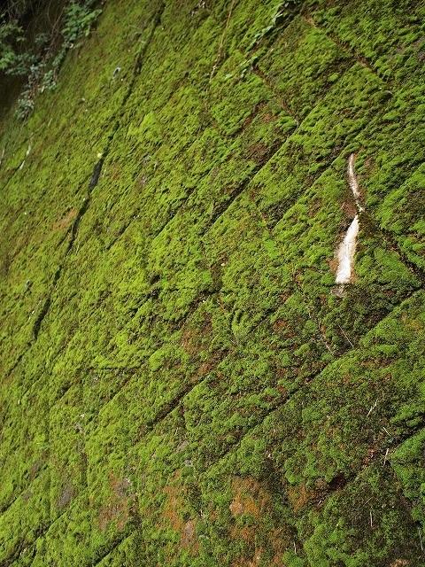 500世界遺産の苔と普通の苔5