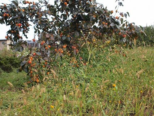500柿の収穫から学ぶこと3