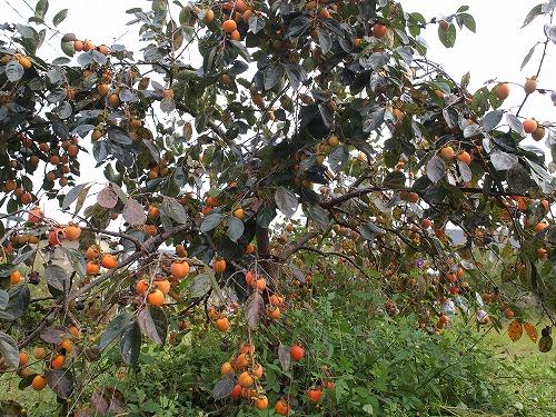 500柿の収穫から学ぶこと2