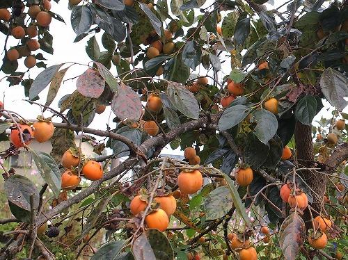 500柿の収穫から学ぶこと1