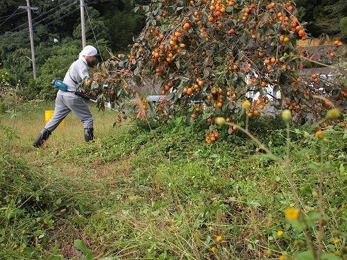 500柿の収穫から学ぶこと4