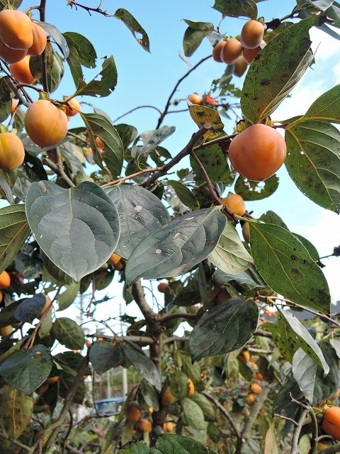 500柿と葉っぱ1