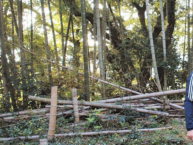 500竹はまっすぐに伸びるのか3